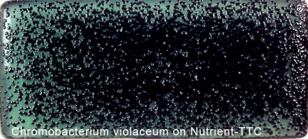 Chromobacterium Violaceum on Nutrient-TTC