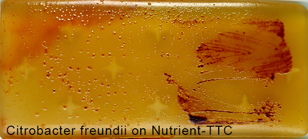 Citrobacter freundii on Nutrient-TTC